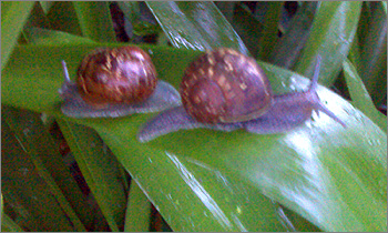 Photograph of snails