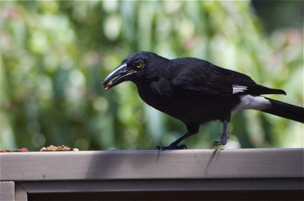 Photograph of pied currawong eating spare cat food