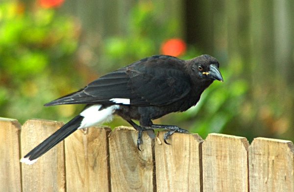 Photograph of juvenile currawong