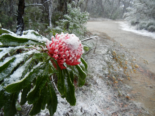 Waratah in the snow: click to embiggen