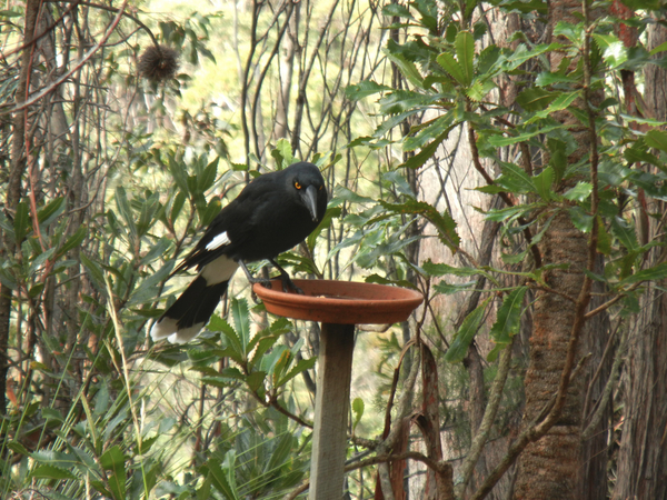 Skulking currawong: click to embiggen