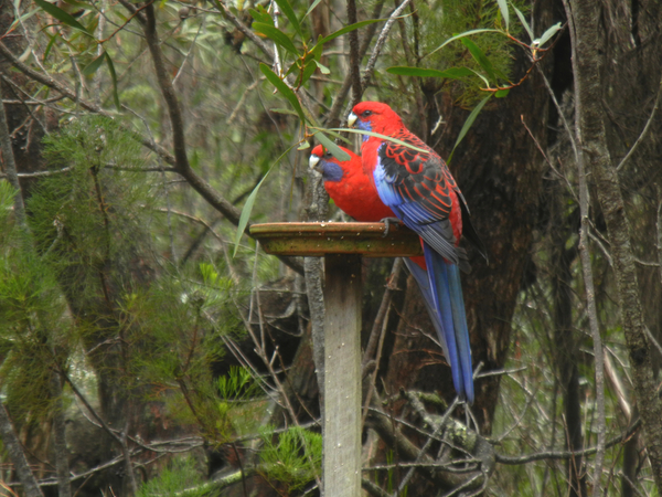 Crimson rosellas at Bunjaree Cottages: click to embiggen