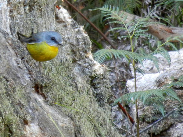 Eastern Yellow Robin, again; click to embiggen