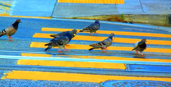 Six Pigeons for Jeffrey: click to embiggen