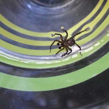 Spider in my water glass: click to embiggen