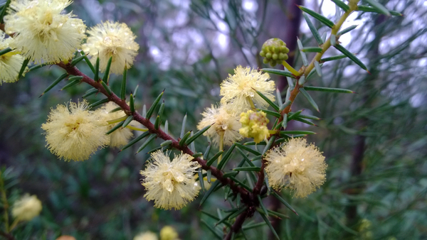Wattle blooming near Bunjaree Cottages: click to embiggen