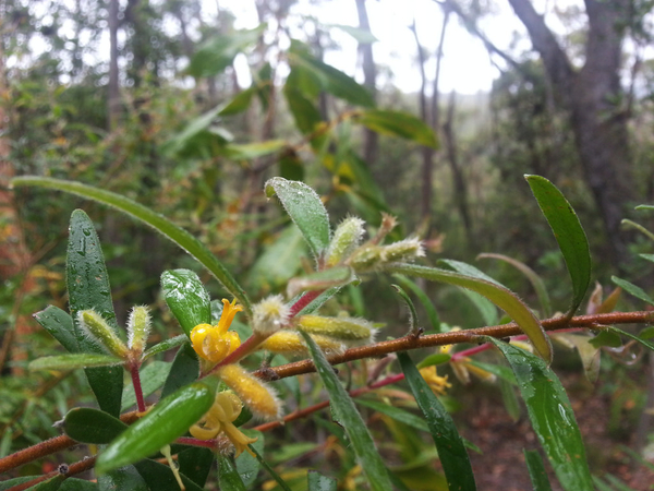 Australia Day in the eucalypt forest: click to embiggen