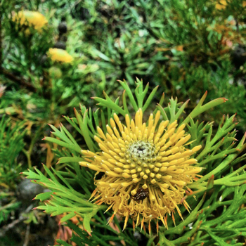 A narrow-leafed drumstick (Isopogon anethifolius): click to embiggen