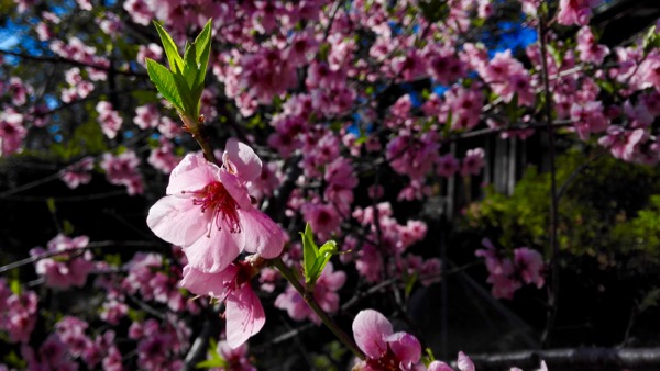 Almond Blossom at Bunjaree Cottages: click to embiggen