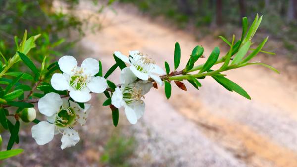 Tea tree flowers: click to embiggen