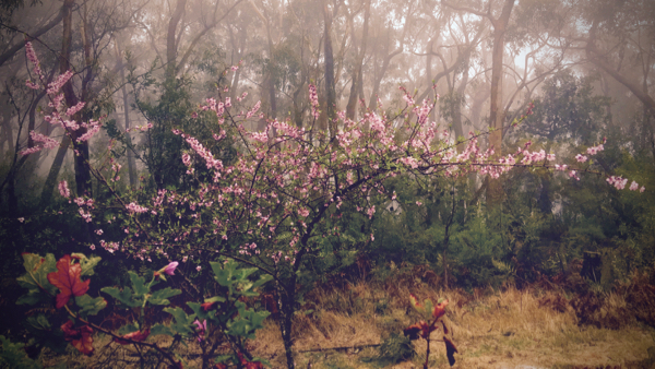 Almond blossom and eucalypts in the gentle Sunday rain: click to embiggen