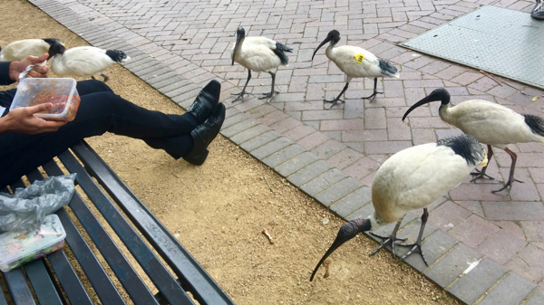 Attack of the Killer Ibis: click to embiggen