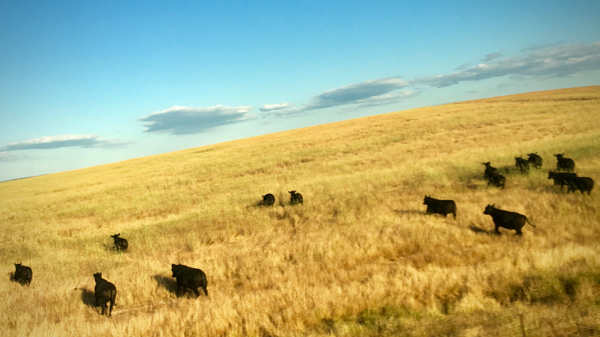 Cows on the Move: click to embiggen