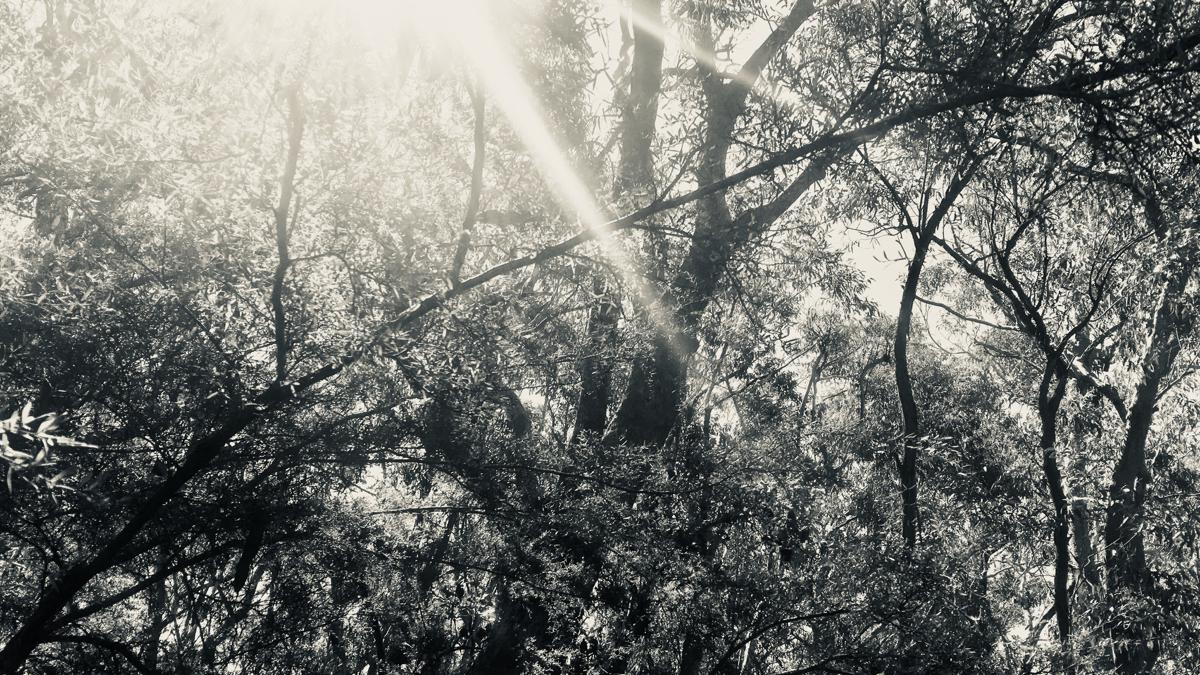 Eucalypt Scrubland