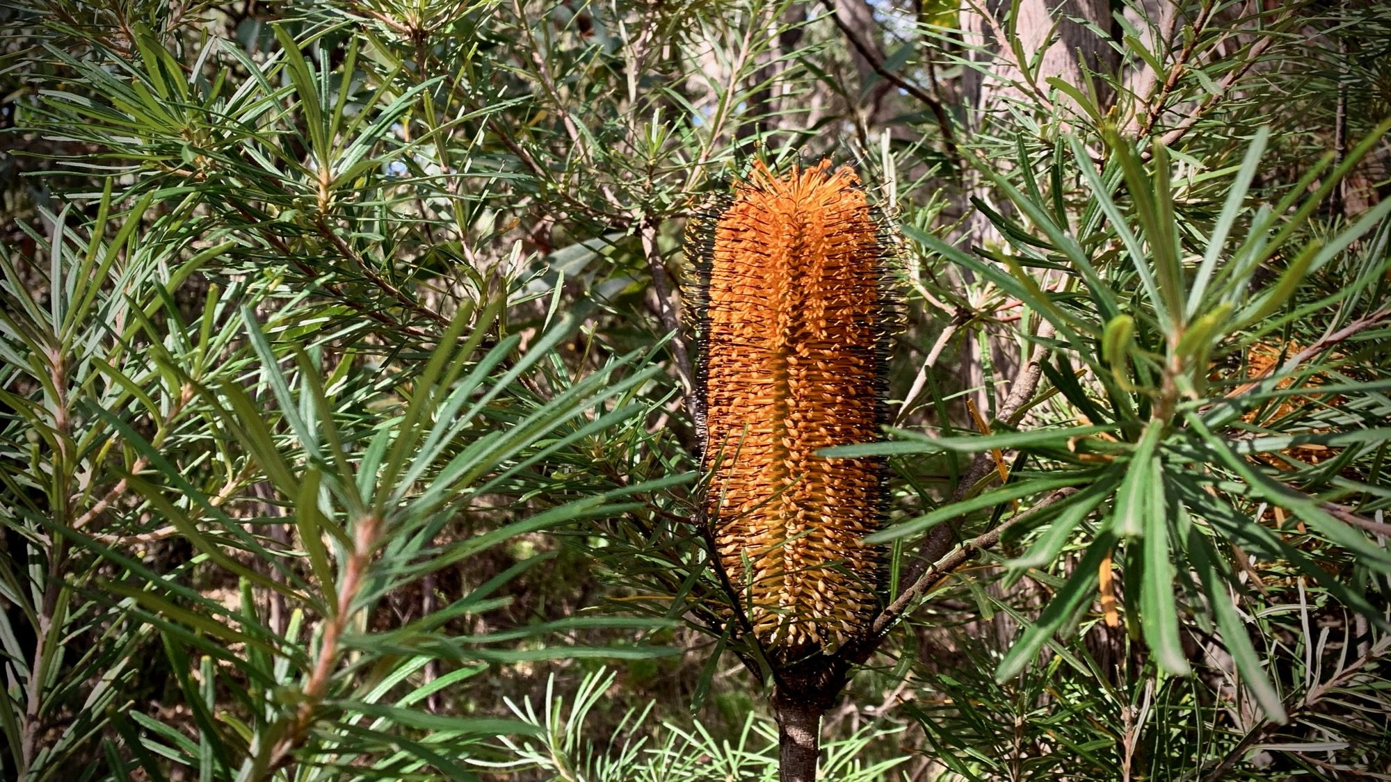 Banksia at Bunjaree