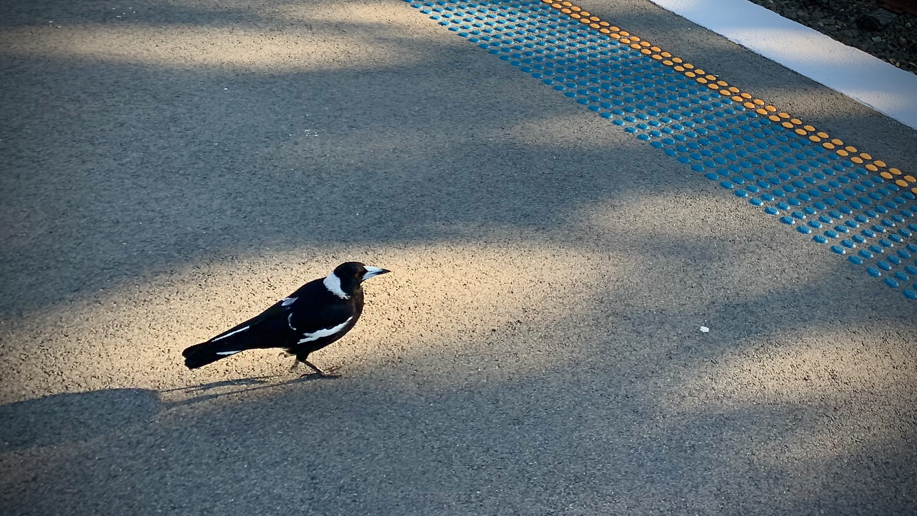 Magpie at Wentworth Falls station