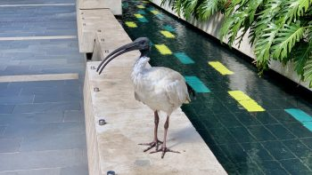 Ibis in the Darling Quarter