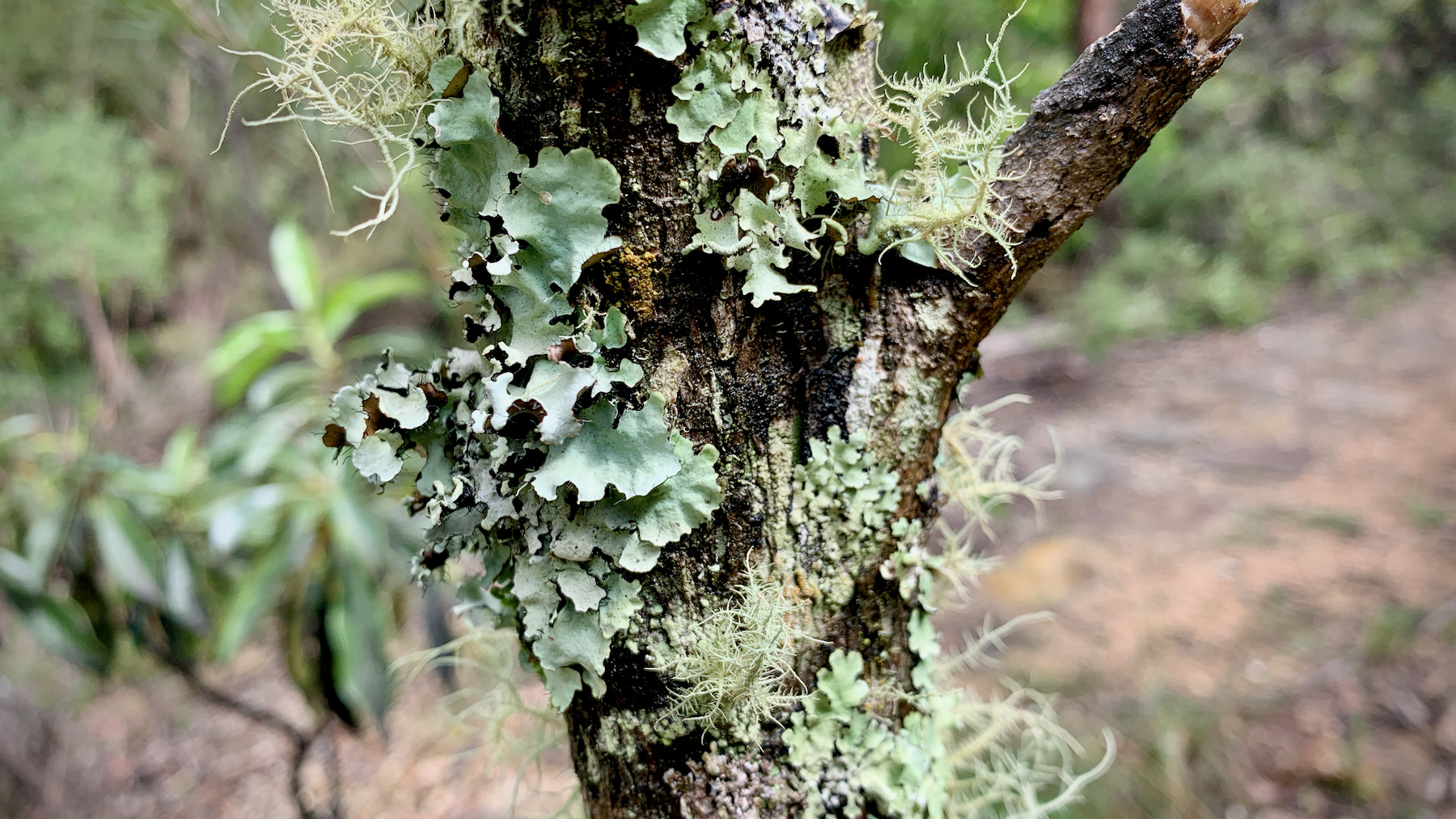 Lichen at Wentworth Falls