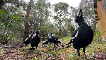 More of the Magpie Army