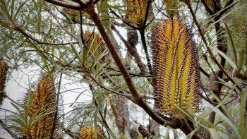 Banksia at Bunjaree
