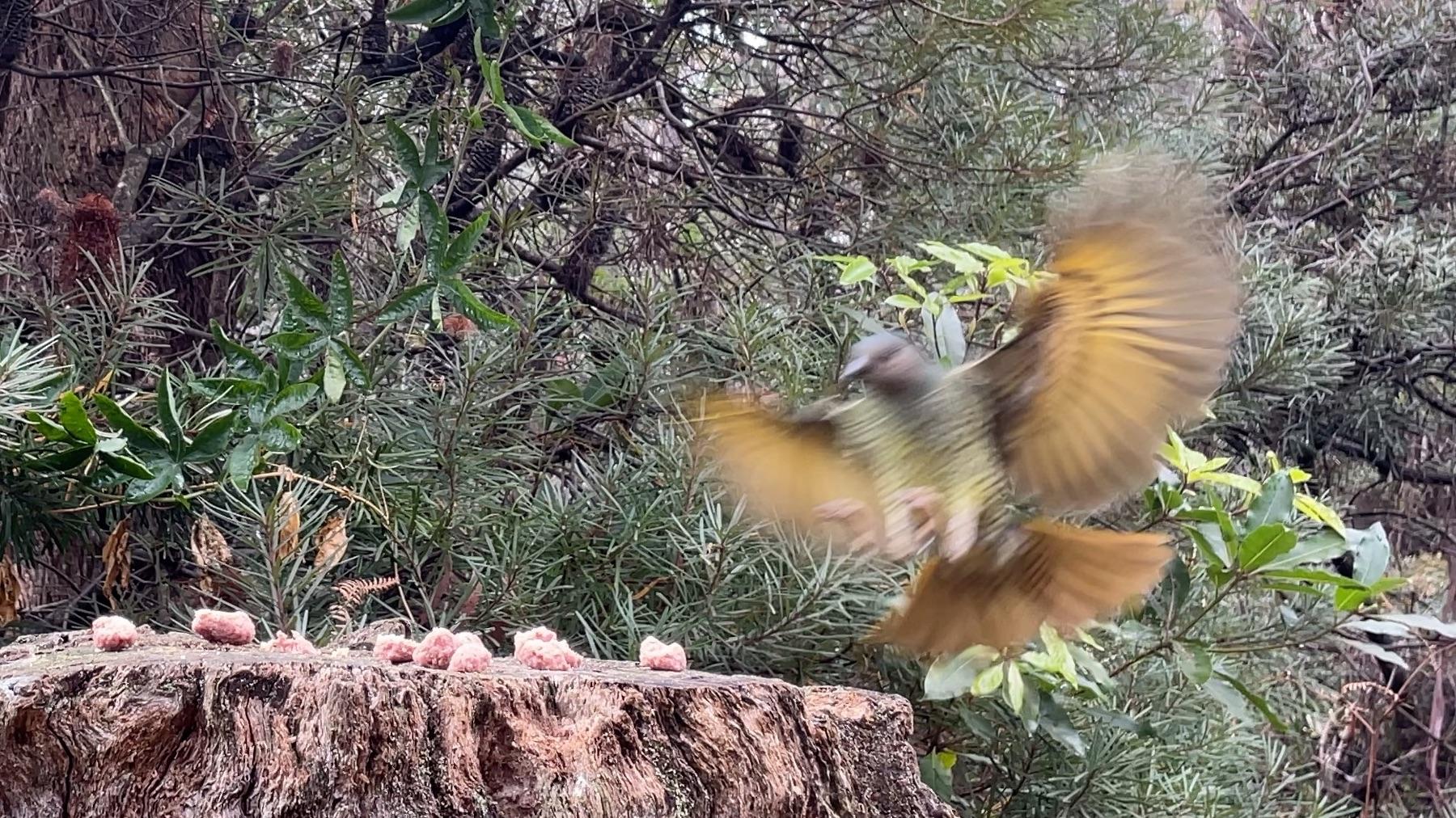 Satin Bowerbird Landing